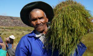 Ernte von Rotbusch-Tee, Kooperative Heiveld, Südafrika